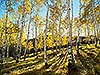 Aspens in Telluride, CO